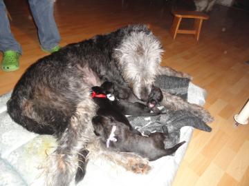 Írsky vlkodav - šteniatka