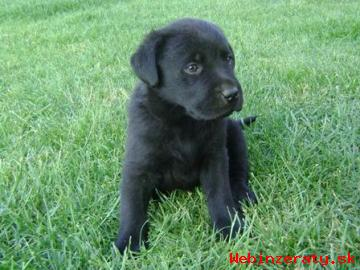 Labrador šteniatka