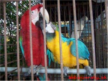 Ara Ararauna papoušek na prodej