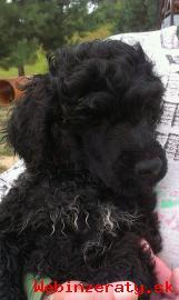 Portugalský vodní pes-posledný psík s PP