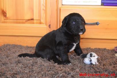 Darujem šteniatka našej labradorky