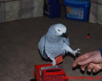 Nádherné africké šedé papoušci na prodej