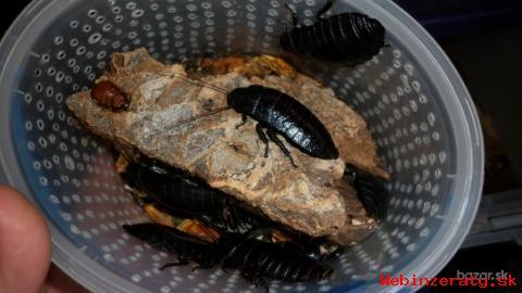 P: švábov madagaskarských syčiacich form