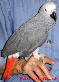Hovorit Kongo afrických papagájov sivých