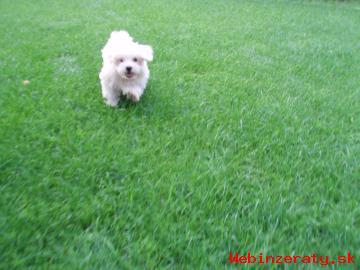 Predám šteniatko maltézsk.  psíka a shih