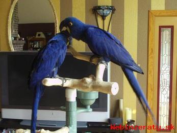 Roztomilý Hyacint Papoušci Pro Prodej