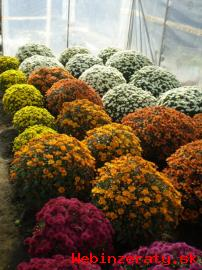 Črepníkové chryzantémy