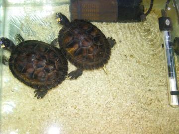 predám 2 vodné korytnačky
