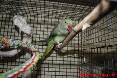 Predám papagája Alexandra Veľkého