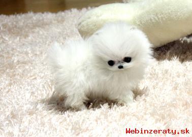 Pomeranian šteňa na 150 eur.