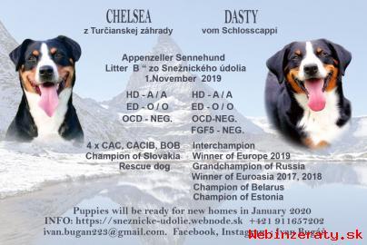 Appenzellský salašnícky pes.