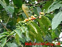 kávovník arabský- semená