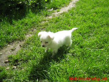 Čivava-psík