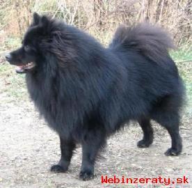Německý špic velký černý štěňata s PP