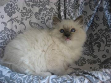 Luxusní kotata Ragdoll s PP