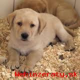 Predám krásne šteniatka Labrador