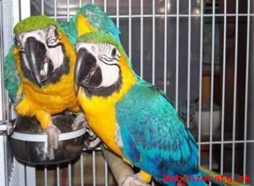Prodám Papoušek Papoušci s Doklady