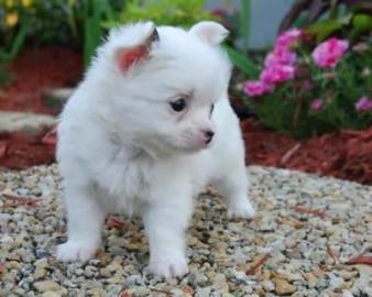 Roztomilé a Rozkošný čivava šteňatá pre