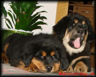 Tibetská doga - nádherná štěňátka s PP