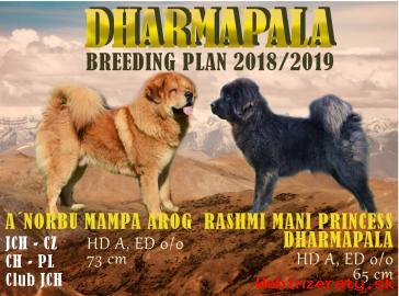Tibetská doga šteniatka s PP 2018/19