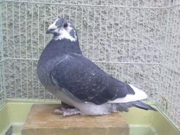 Poštové holuby - štandard
