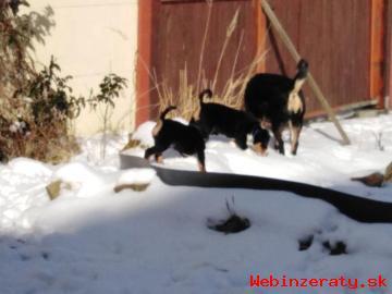 Štěňátka Appenzellský salašnický pes