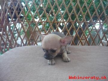 Čivava krátkosrstá šteniatka