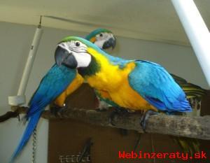 Ara Ararauna papoušek Pro Prodej