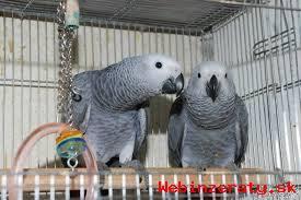 Žena Papagáj sivý na predaj   Gigi samic