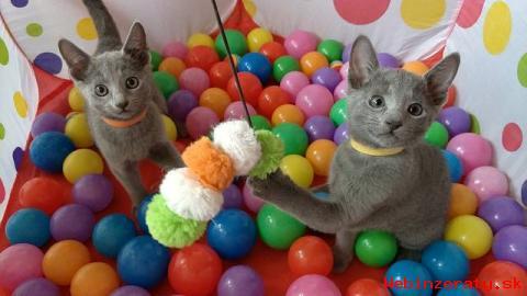 Ruská modrá mačiatka s PP