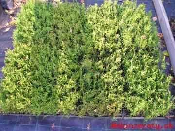 Tuja smaragdová – zakorenené odrezky