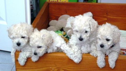Biele šteniatka pudel toy