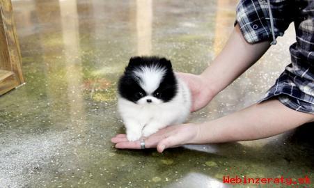 Atraktívny, šálka Pomeranian šteňatá pre