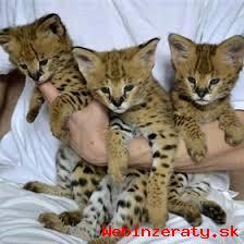 F1 Savannah mačiatka na adopciu