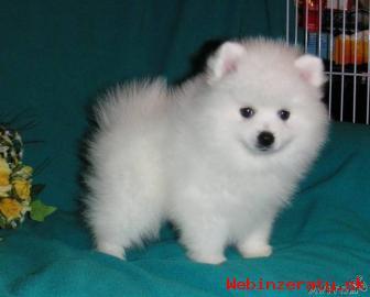 Roztomilé a Rozkošný Pomeranian šteňatá
