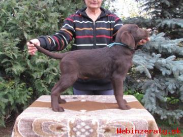 čokoládové šeniatka labradora