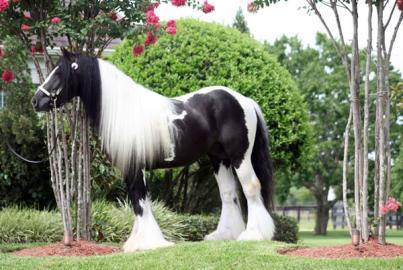 Dve krásne cigánskej vänner koní