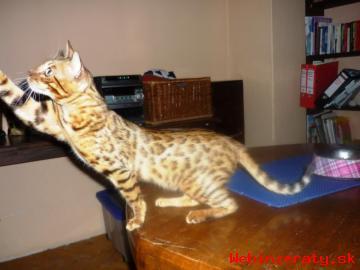 Prodám Bengálskou dospělou kočičku s PP