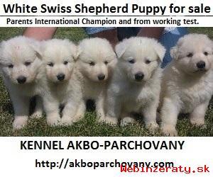 šteniatka Biely švajčiarsky ovčiak s PP
