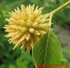 Kratom - latinsky Mitragyna speciosa