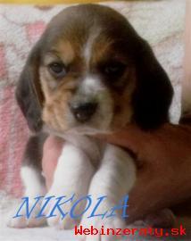 Beagle - bígel s PP