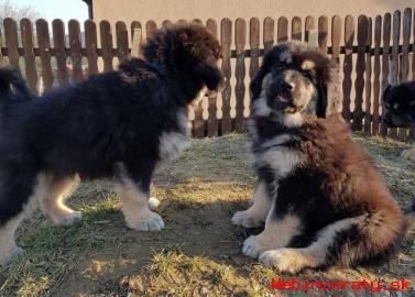 Tibetská doga - zo zahraničného krytia