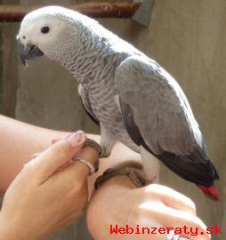 Africké šedé papoušci pro prodej