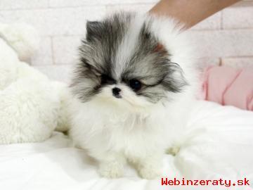 Krásna Pomeranian šteňa.