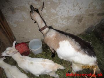 na predaj koza dojka 1,5roka stara
