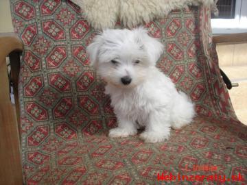 Maltezsky psík