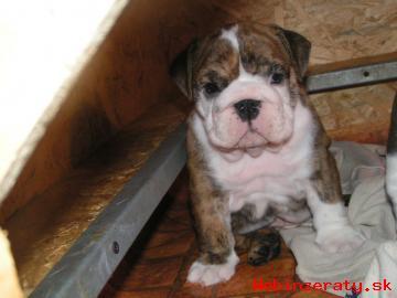 Anglicky Bulldog