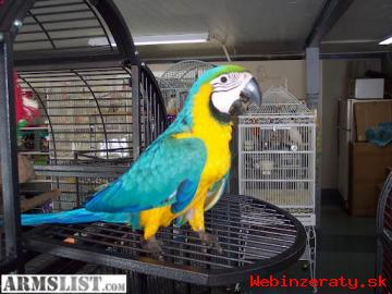 Ara Ararauna papousek papousci pro prode