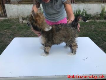Prodám štěně čínský chocholatý pes