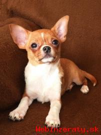 ČIVAVA - krátkosrstý psík